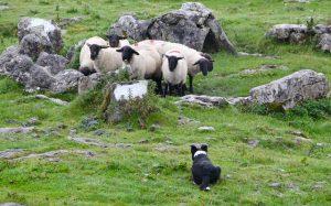 Border Collie schapen drijven