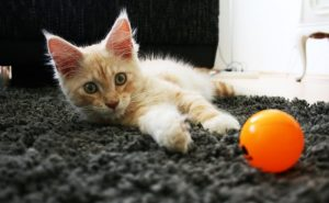 Spelende Maine Coon kitten