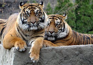 Tijgers uit dierentuin Aleppo naar opvang in Friesland