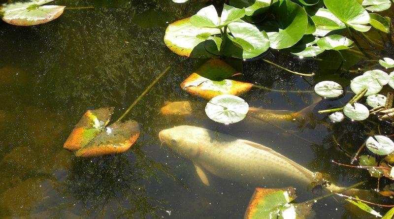 Vissen In Vijver : Je vijver in de winter