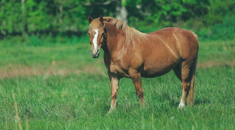 dik paard