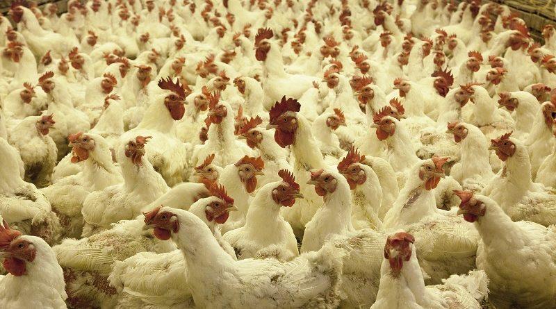 pluimveehouderij kippen