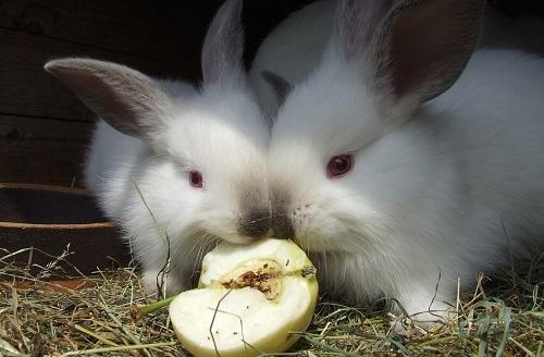 konijnen eten appel