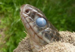 vervellende slang wazig oog