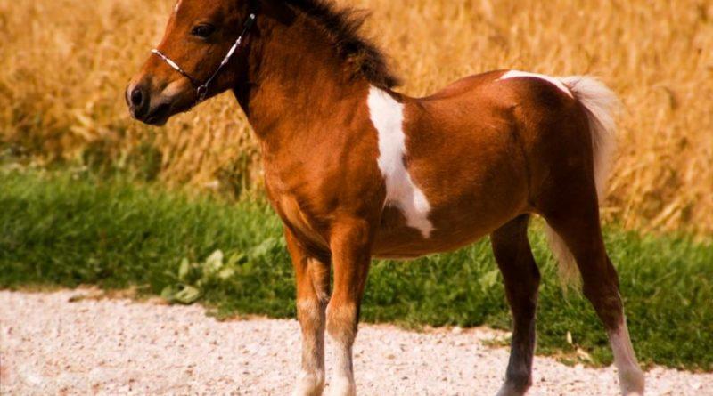 Falabella klein paard