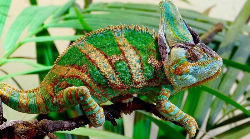 kleurrijke gestreepte kameleon