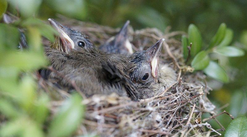 vogelkuikens in nestje