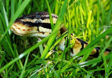 Ontsnapte slang vangen met slangenval