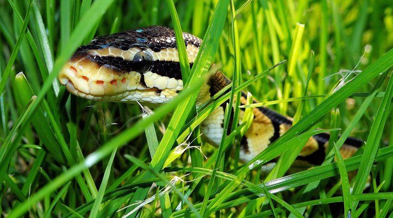 slang verstopt in gras