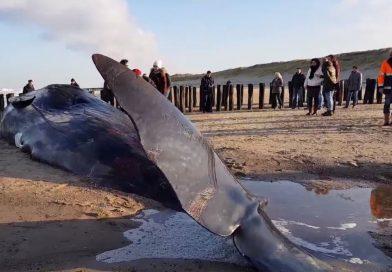 Walvis van 13,5 meter aangespoeld in Zeeland
