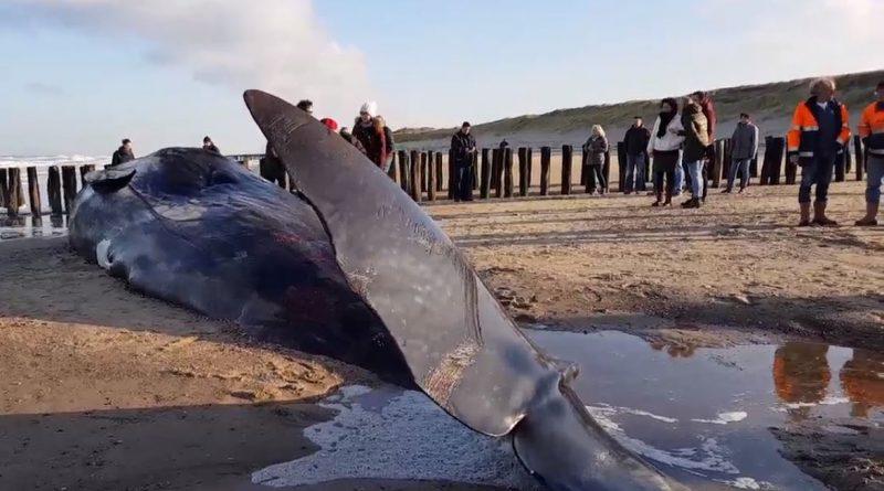 aangespoelde walvis domburg