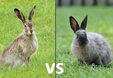 Haas versus konijn, wat zijn de verschillen?
