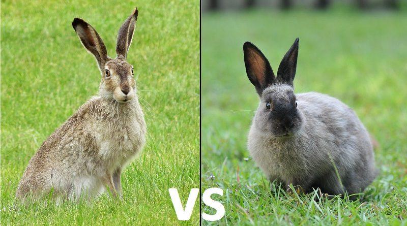 haas vs konijn