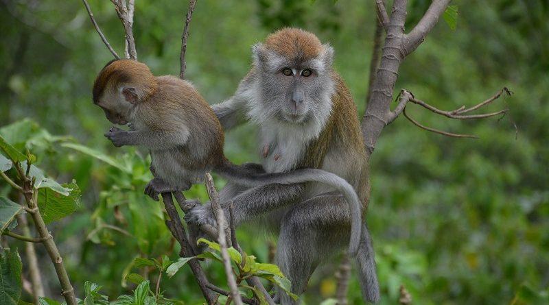 Java langstaart makaken in het wild