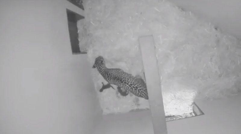 Geboorte baby panters Burgers' Zoo 1 januari 2018