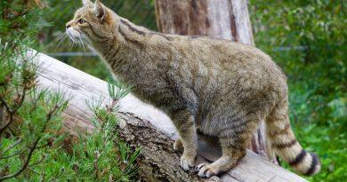 Wilde kat is terug in Nederland