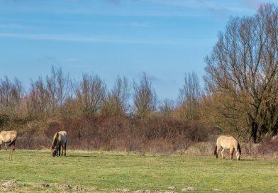 Wilde paarden geëvacueerd vanwege hoge waterstand