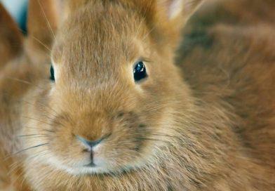 Gebit van je konijn verzorgen en knippen