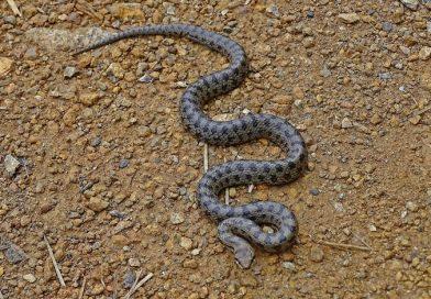 Hoe beweegt een slang zich voort?