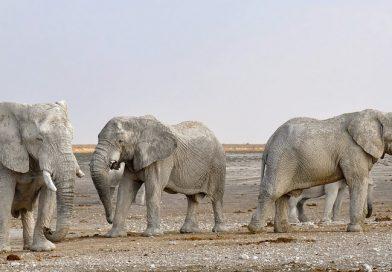 Hoe oud wordt een olifant?