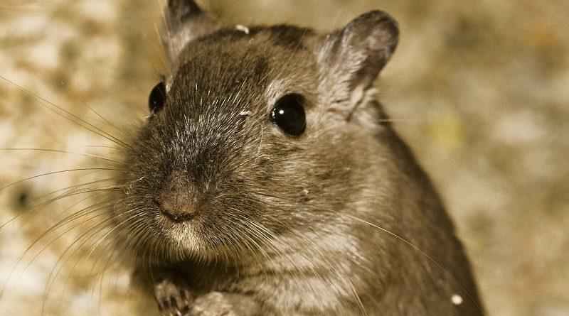 hamster op leeftijd