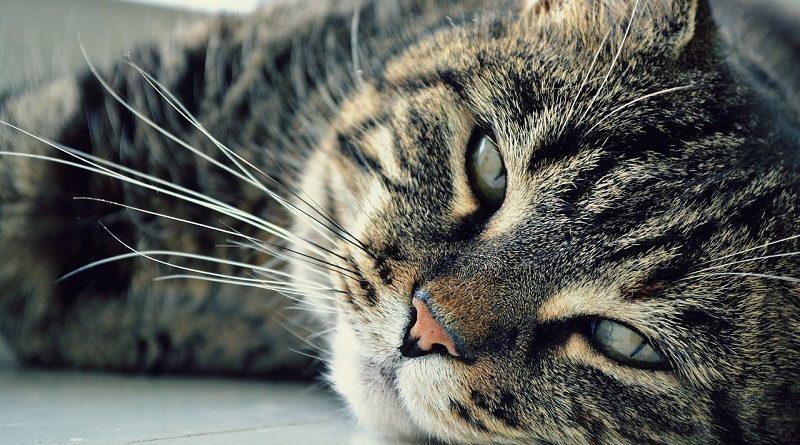 volwassen huiskat