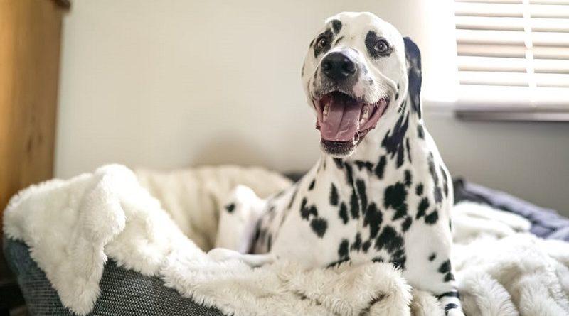 zwangere hond