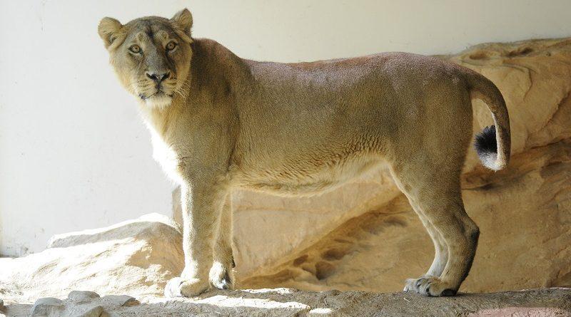 Aziatische leeuw Lanana in Blijdorp