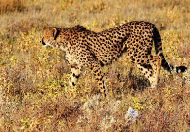 Cheetah / jachtluipaard