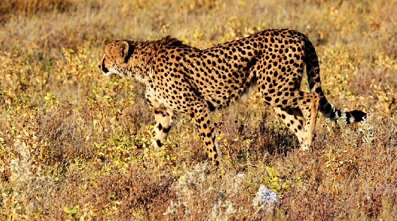 cheetah / jachtluipaard in graslandschap