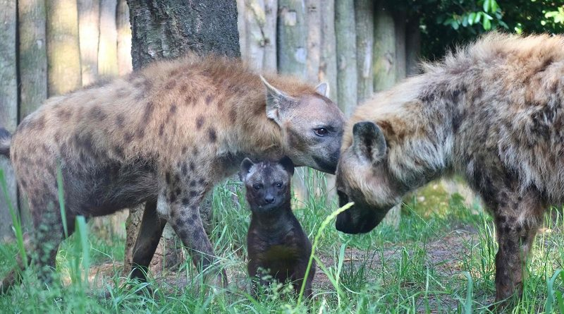 Cheka hyenajong dierenpark Amersfoort