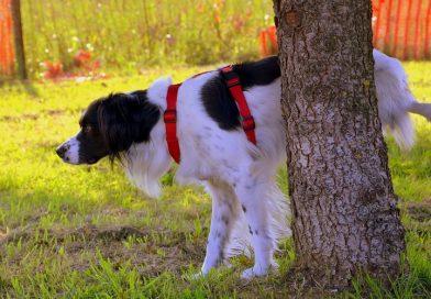 Puppy zindelijk maken – stappenplan & tips