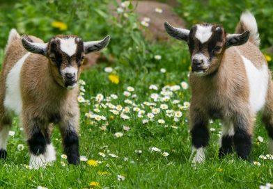 Hoe heet een baby geit?
