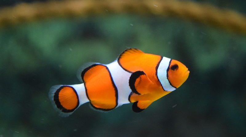 clownvis in aquarium
