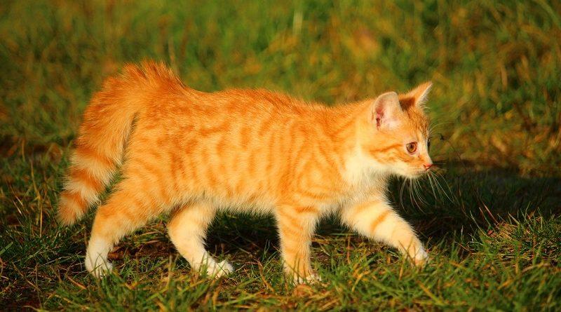 Kat met dikke staart