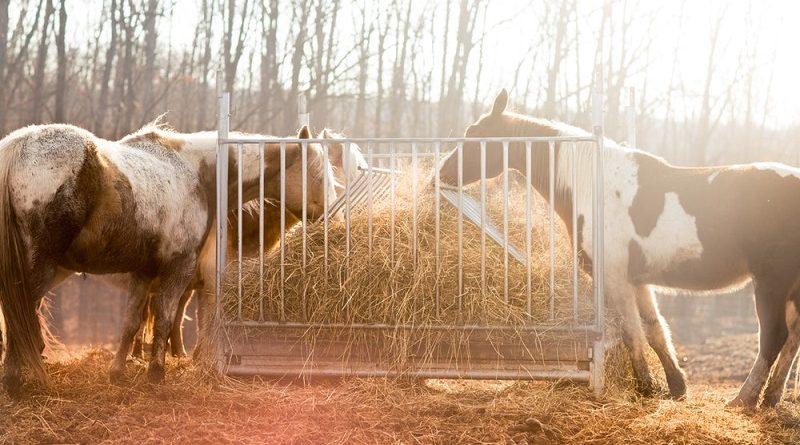 paarden eten hooi