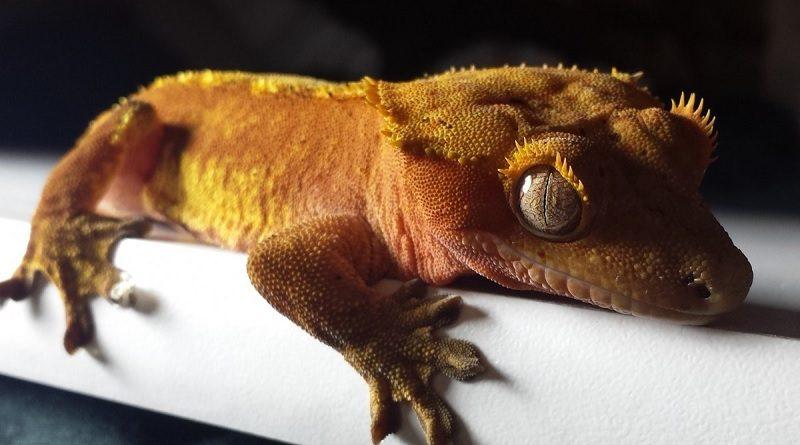 Wimpergekko als huisdier