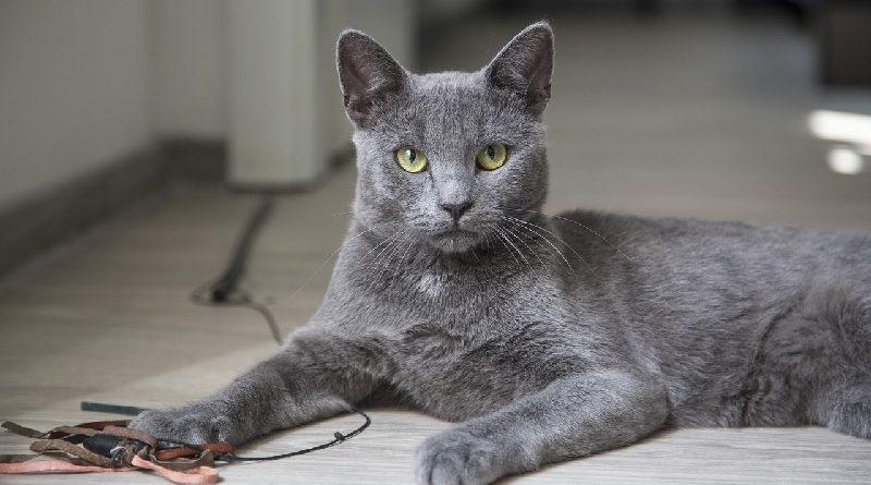 Blauwe Rus kattenras
