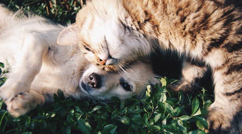 hond en kat in gras