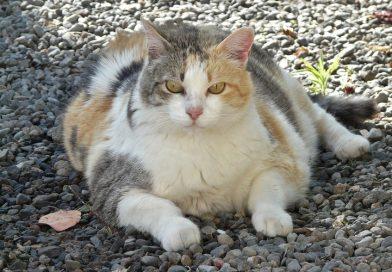 Overgewicht bij katten