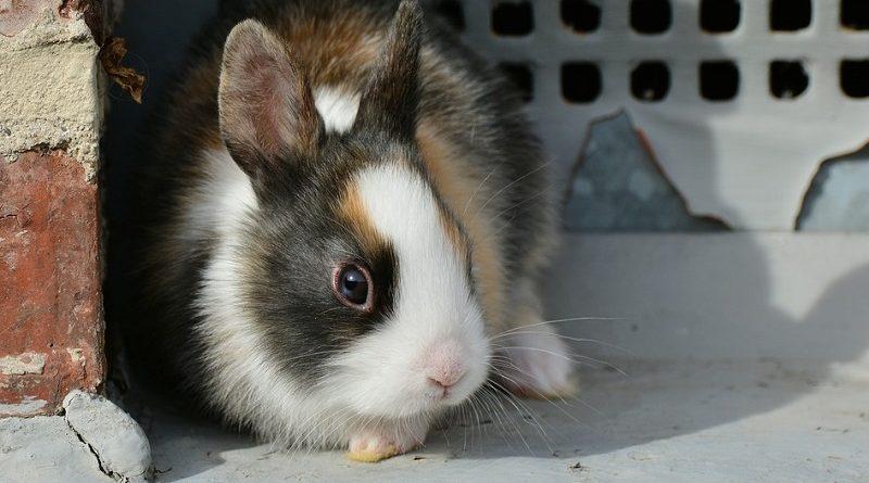 schuw-konijn