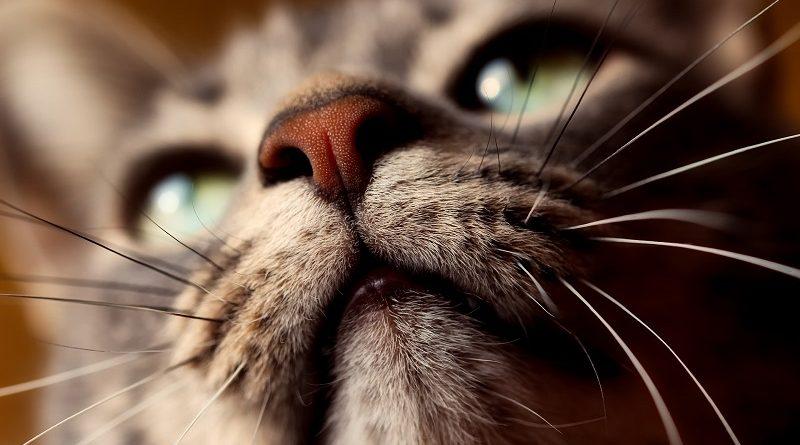 Snorharen kat