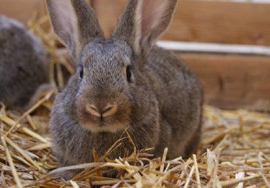 Vlooien bij konijnen