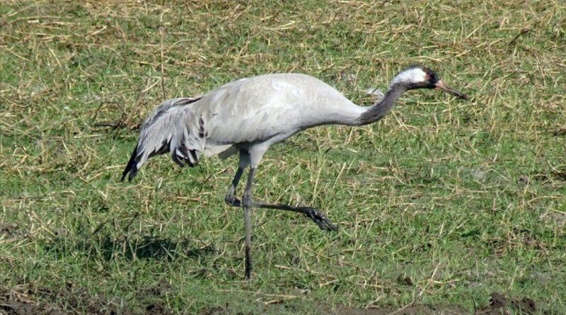 Recordaantal kraanvogels broedt in Nederland