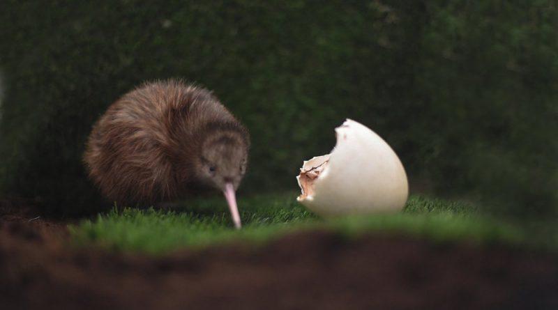 Eerste kiwi ooit geboren in Nederland