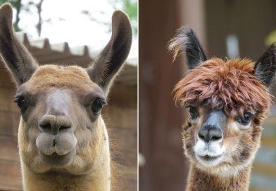 Verschil tussen een lama en een alpaca