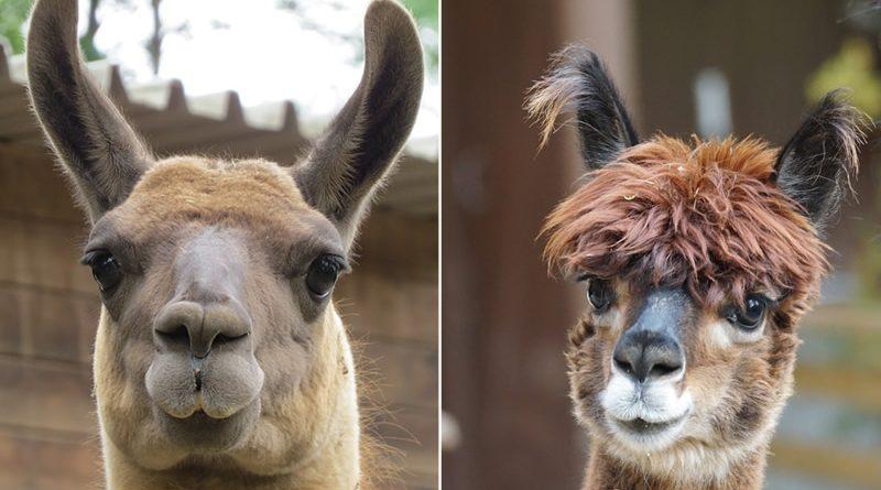 lama vs alpaca