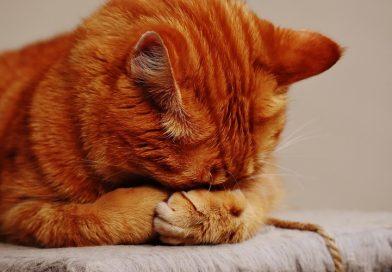 Gevaar van druiven voor katten