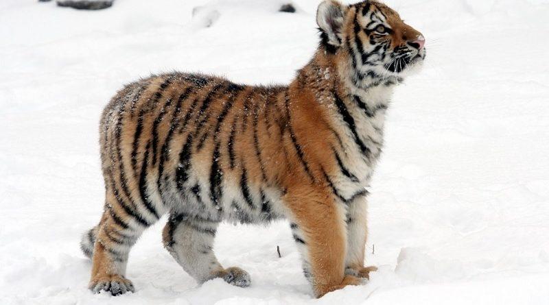 tijgerwelp in sneeuw