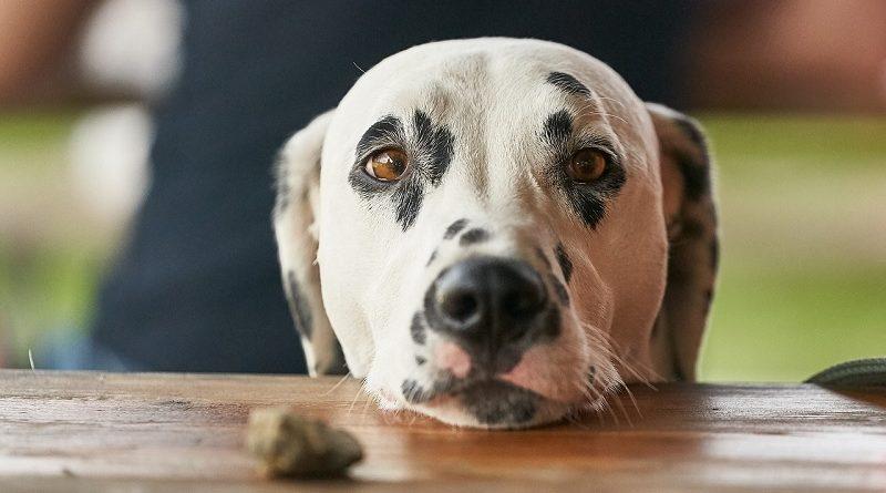 bedelende hond